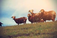 grupo de ovejas que caminan en la montaña Foto de archivo