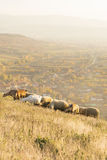 Grupo de ovejas y de cabras que pastan la hierba sobre el pueblo Fotografía de archivo