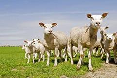 Grupo de ovejas y de corderos Imagen de archivo libre de regalías