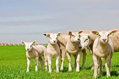 Grupo de ovejas y de corderos Fotos de archivo libres de regalías