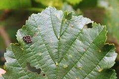 Grupo de ovos do inseto Fotografia de Stock