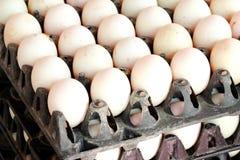 Grupo de ovos do pato na bandeja Fotos de Stock Royalty Free