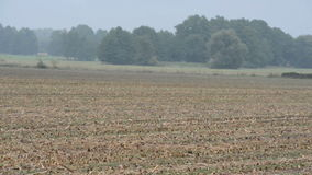 Grupo de pájaros de la grúa durante la migración del otoño en la reclinación del campo de maíz Tiempo lluvioso almacen de metraje de vídeo