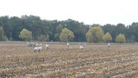 Grupo de pájaros de la grúa durante la migración del otoño en la reclinación del campo de maíz Tiempo lluvioso almacen de video