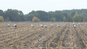 Grupo de pájaros de la grúa durante la migración del otoño en la reclinación del campo de maíz Tiempo lluvioso metrajes