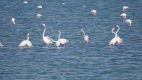 Grupo de pájaros hermosos del flamenco con reflexiones, caminando en el lago salt de Larnaca en Chipre almacen de video