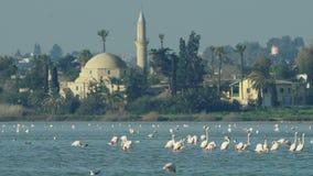 Grupo de pájaros hermosos del flamenco con reflexiones, caminando en el lago salt de Larnaca en Chipre metrajes