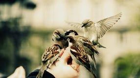 Grupo de pájaros de los gorriones que alimentan en una mano imagenes de archivo