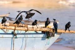 Grupo de pájaros negros del cuervo encaramados en una nave de madera en la playa en Galle, Sri Lanka fotos de archivo libres de regalías