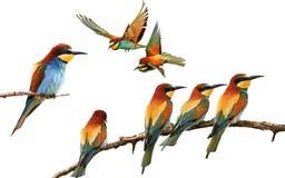 Grupo de pássaros coloridos em poses diferentes isolados no branco Foto de Stock