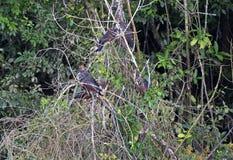 Grupo de pássaros de Hoatzin Foto de Stock