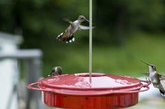 Grupo de pássaros do zumbido Imagens de Stock Royalty Free