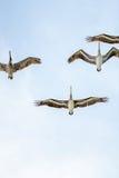 Grupo de pássaros que voam acima da cabeça Foto de Stock