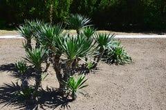 Grupo de palmeiras novas Trachycarpos Fortunei de Chusan plantado no solo recentemente cultivado imagens de stock royalty free
