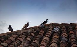 Grupo de palomas de diversos colores en un tejado imagen de archivo