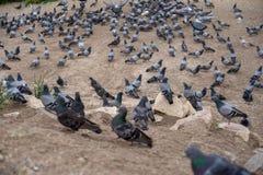 Grupo de palomas en sombras de la situación gris y blanca y de caminar en la planta del suelo con el primero plano borroso, valle Fotos de archivo libres de regalías