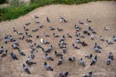 Grupo de palomas en sombras de la situación gris y blanca y de caminar en la planta del suelo, valle de la paloma Imagen de archivo libre de regalías