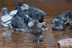 Grupo de palomas que se refrescan abajo en una fuente y oxidada agua que miran la cámara Imagen de archivo