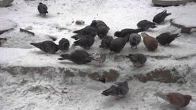 Grupo de palomas urbanas grises que comen las semillas en la nieve Día de invierno nevoso frío en la ciudad Palomas en la multitu almacen de video