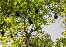 Grupo de palos que duermen en árbol Fotos de archivo