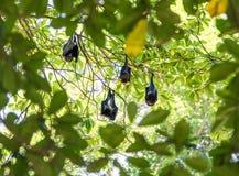 Grupo de palos que duermen en árbol Fotos de archivo libres de regalías