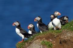 Grupo de papagaio-do-mar em penhascos de Latrabjarg em Islândia fotografia de stock