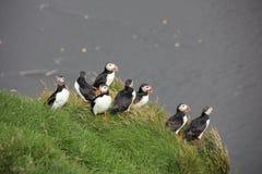 Grupo de papagaio-do-mar que estão em um penhasco gramíneo Imagens de Stock