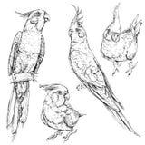 Grupo de papagaios engraçados bonitos do cockatiel Imagem de Stock Royalty Free