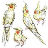 Grupo de papagaios engraçados bonitos do cockatiel Imagens de Stock Royalty Free