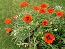 Grupo de papoilas vermelhas na flor completa foto de stock royalty free