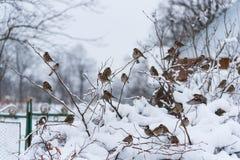 Grupo de pardais no arbusto coberto de neve, tempo de inverno, Ucrânia imagens de stock royalty free