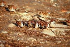 Grupo de pardais selvagens Foto de Stock Royalty Free