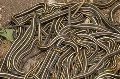 Grupo de parietalis echados a un lado rojos de los sirtalis del Thamnophis de la serpiente de liga fotografía de archivo