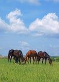 Grupo de pastar cavalos no campo verde Foto de Stock