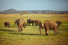 Grupo de pastar elefantes Imagen de archivo libre de regalías