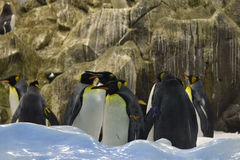 Grupo de patagonicus do Aptenodytes dos pinguins de rei Imagens de Stock Royalty Free