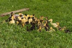 Grupo de patinhos amarelos pequenos Fotografia de Stock