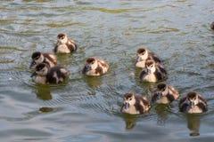 Grupo de patinhos depois de brilhante bonito pequeno local da lagoa da mãe imagem de stock