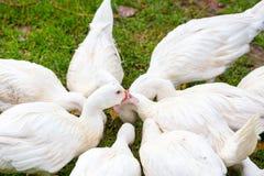 Grupo de pato blanco fotos de archivo