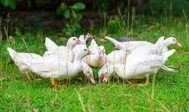 Grupo de pato blanco Imagenes de archivo
