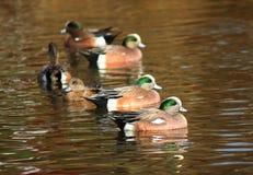 Grupo de pato de la natación del Wigeon americano Fotografía de archivo