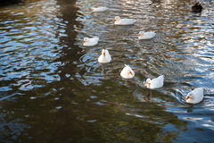 Grupo de pato en el agua Imagenes de archivo