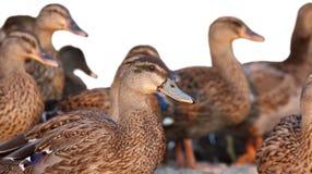 Grupo de patos Fotografia de Stock Royalty Free