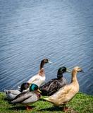Grupo de patos Imágenes de archivo libres de regalías