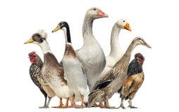 Grupo de patos, gansos e galinhas, isolados imagem de stock royalty free