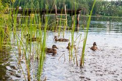 Grupo de patos marrones jovenes, anadones que nadan junto entre las plantas de agua en el lago cerca de la especie de los pájaros fotos de archivo libres de regalías