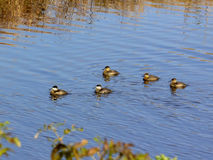 Grupo de patos rubicundos que nadan Imagen de archivo libre de regalías