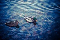 Grupo de patos salvajes que nadan a lo largo del lago Fotos de archivo