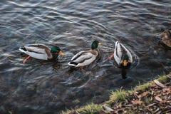 Grupo de patos salvajes que nadan a lo largo del lago Fotografía de archivo libre de regalías