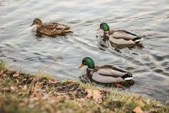 Grupo de patos salvajes que nadan a lo largo del lago en un otoño caliente Foto de archivo libre de regalías